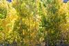 Aspens turning color in fall.  Near Aspendell, California, USA.