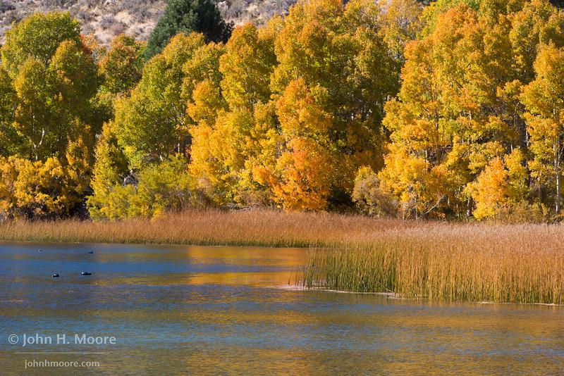 Marsh and ducks at the edge of Gull Lake on June Lake Loop in the Eastern Sierra.  California, USA