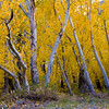Closeup of aspens during fall
