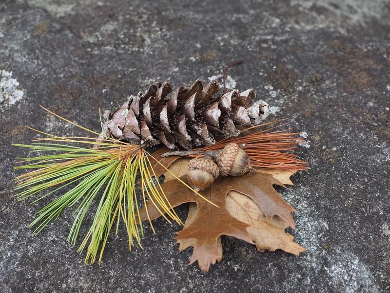 pine cone acorns leaves