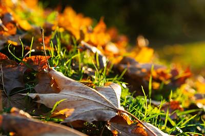 Goldlaub / Leaves of gold