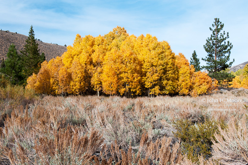 A small grove of just-past-peek aspens, all in orange, just outside of Aspendell, California, USA.