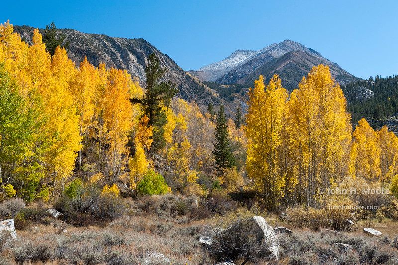 Aspens turn fall colors in Surveyor's Meadow near Bishop, California, USA.