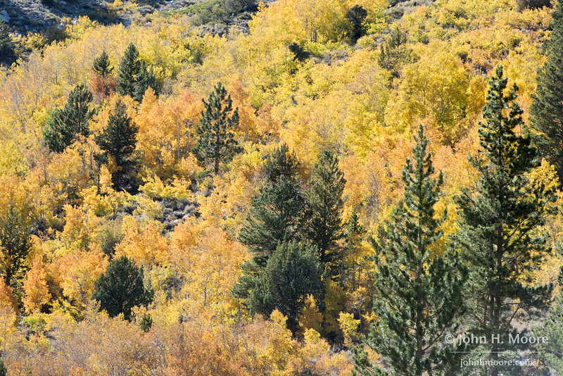 Autumn colors in the aspens along the South Fork of Bishop Creek.  Eastern Sierra, California, USA