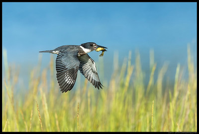 There was a slight scramble as I heard the distinct sound of a Belted Kingfisher and saw the splash.  She flew right in front of me with her catch, giving me the opportunity to get a couple of decent shots and this one.
