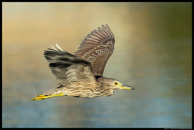 Last shot of the evening was this juvenile Night Heron flying to the south end of the slough.