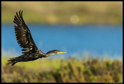 Double Crested Cormorant beginning his circle around the slough.