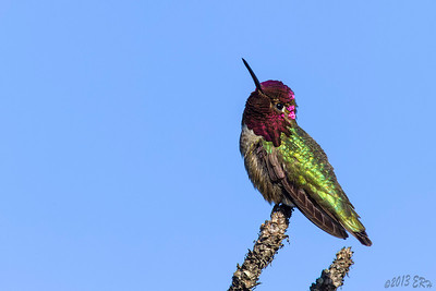 Curious Anna's Hummingbird flashing some color.