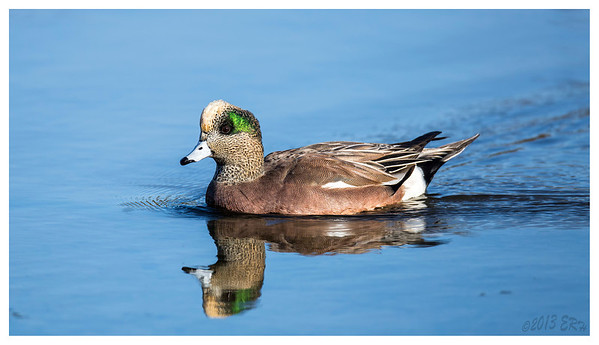 American Wigeon looking for the perfect dabbling spot.
