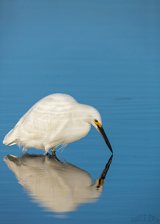 Snowy Egret having an introspective moment.  Or maybe just waiting for the fish to move.
