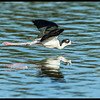 Black Necked Stilt flyby