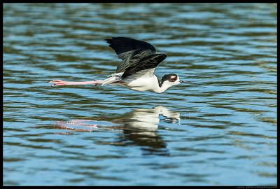 Black Necked Stilt flyby