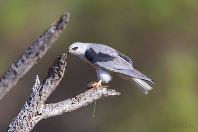 White Tailed Kite with tasty field mouse breakfast.
