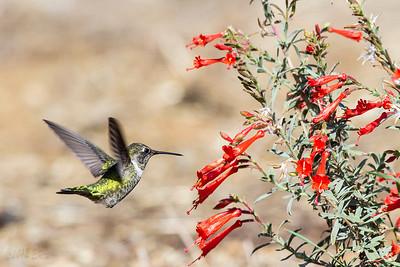 Black Chinned Hummingbird going in.