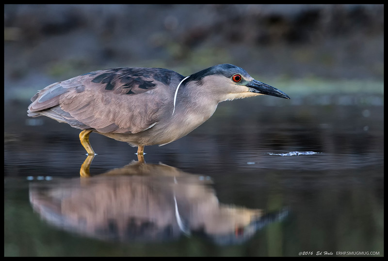 Black Crowned Night Heron shifting towards more adult plumage coloring.