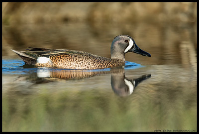Blue Winged Teal cruising by.  Actually surprised at the number still present in the area.