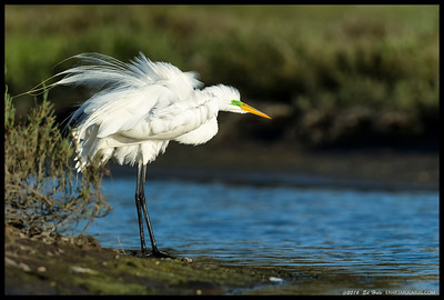 Great Egret in breeding coloration.