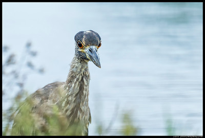 Yellow Crowned Night Heron staring intently in my direction.  Apparently decided I wasn't food and continued on in search of fresh crab snacks.
