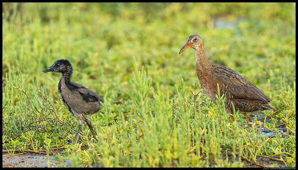A juvenile Ridgway Rail with being escorted back towards the water's edge by a watchful parent.