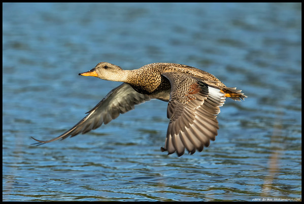 Female Gadwall out for a spin around the slough.