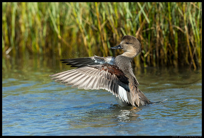 Male Gadwall shaking off a few drops while stretching the wings.