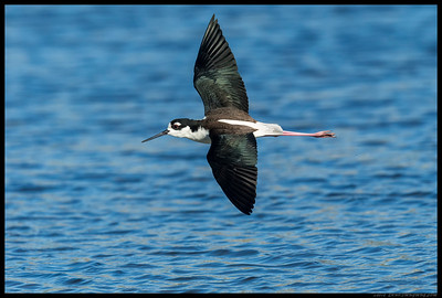 One of the Black Necked Stilts in a hurry to reach the other side of the slough.