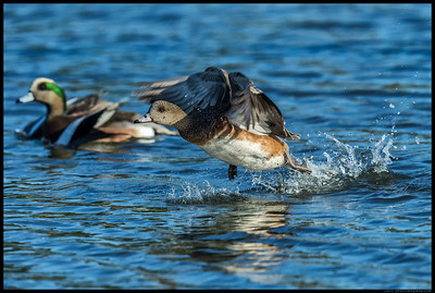 Female Wigeon on takeoff.