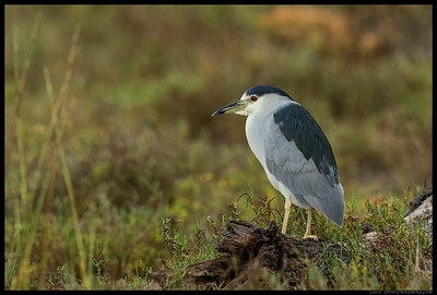 The Black Crowned Night Heron is probably one of the most patient birds as they will sit in the same pose for great lengths of time.  This one was probably having a debate as to which part of the slough the next meal should come from.
