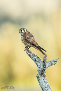 American Kestrel posed for a moment before continuing the search for supper.