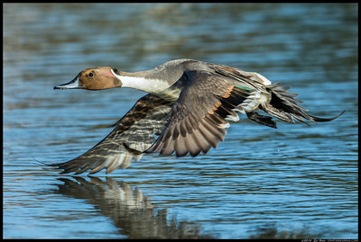 Male Northern Pintail in flight.