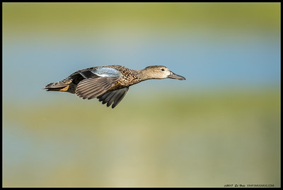 Female Blue Winged Teal on a high speed glide over the slough.