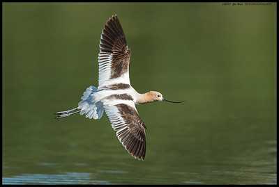 A female American Avocet in breeding plumage over the waters of the slough.