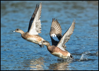 An American Wigeon couple taking flight together.  I've noticed the female is usually the first to fly but the male won't be far behind.