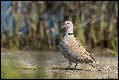 One of the Eurasian Collared Doves looking over its shoulder.