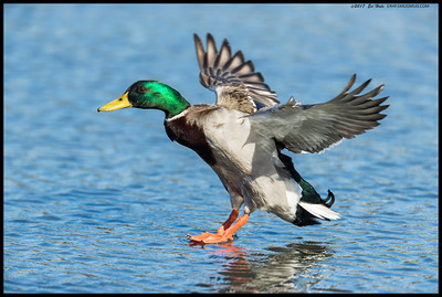Male Mallard at the moment of touching down.