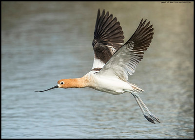 An American Avocet in breeding plumage.  Believe this one is a male as the bill isn't curved nearly as much as the others.