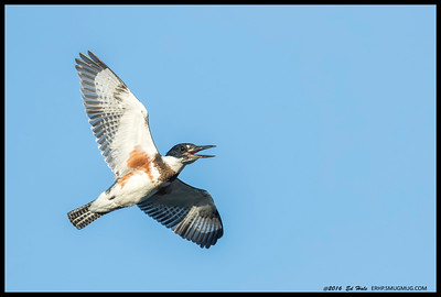One of the female Belted Kingfishers letting the world know she was there.