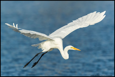 Great Egret just after takeoff.