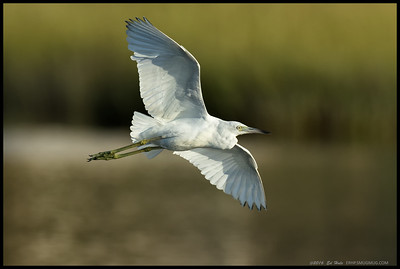 A juvenile Little Blue Heron in flight over the slough.