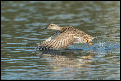 One of the early female Gadwall arrivals taking off for the far corner of the slough.