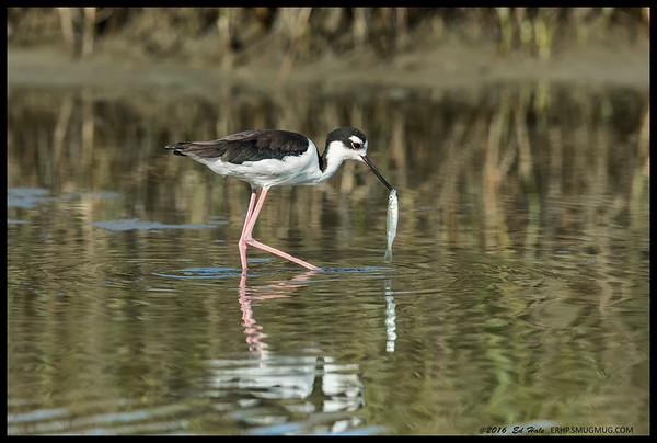 Female Black Necked Stilt doing a little fishing.