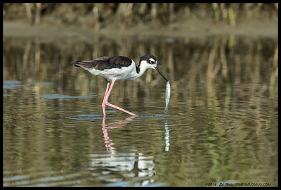 Female Black Necked Stilt doing a little fishing.
