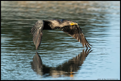 Double Crested Cormorant winging inches above the water.