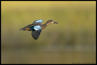 Blue Winged Teal on an evening flight over the slough.
