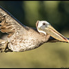 A close flyby by a Brown Pelican at the slough.