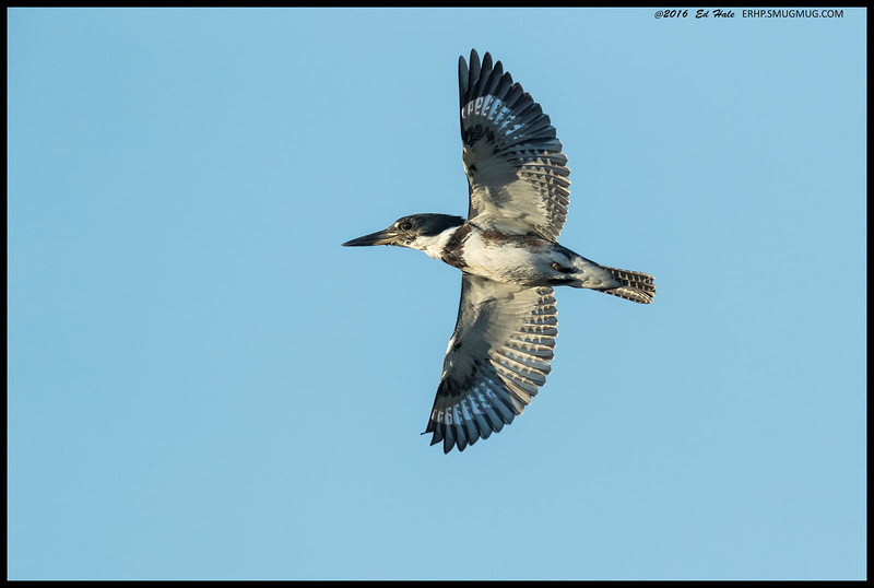 Male Belted Kingfisher in search of a new perch, preferably one with fish in the water under it.