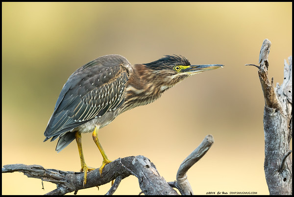 The Green Heron landed on a snag next to me.