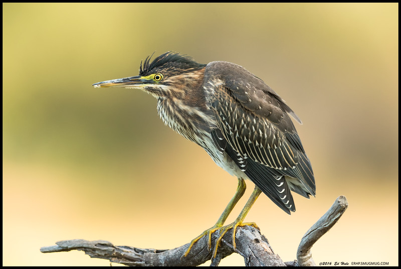 This was from the first day I spotted this juvenile Green Heron and it decided to land on a snag next to me.  They look big in the picture but in reality this fellow was really pretty small.