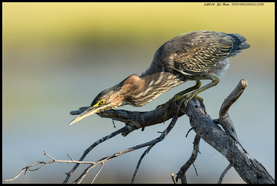 This juvenile Green Heron was intrigued by something on that lower branch.  It struck at several times after some intense scrutiny.