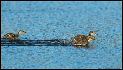 A race of young mallard ducklings back to mom.